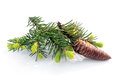 Fir branch with cone Royalty Free Stock Photo