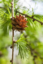 Fir branch with fir cone forest landscape sunny dat green energy eco concept soft focus shallow depth of field Royalty Free Stock Photo