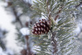 Fir branch with pine cone and snow Royalty Free Stock Photo