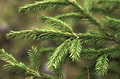 Fir branches close up green Stock Images