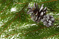 Fir branches and cones Royalty Free Stock Images