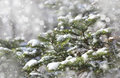 Fir branches covered with snow Royalty Free Stock Photo