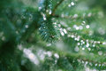 Fir branches in drops of dew closeup Stock Photography