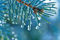 Fir branches with water drops blue spruce of macro Stock Photo