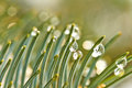 Fir branches with water drops blue spruce of macro Royalty Free Stock Image