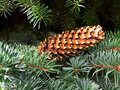 Fir cone on the background of branches Stock Images