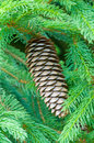 Fir cone on branches one between Royalty Free Stock Images
