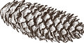 Fir cone vector drawing of the big dry Royalty Free Stock Image