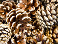 Fir Cones Stock Photo