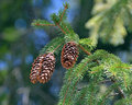Fir cones branch with close up Royalty Free Stock Images