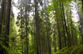 Fir forest Stock Photos