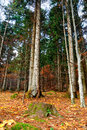 Fir forest in november Stock Image