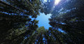 Fir forest top view from below conifer against blue sky Stock Photo