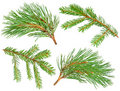 Fir and pine branches Stock Images