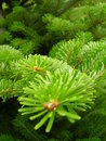 Fir-tree Royalty Free Stock Image