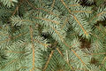 Fir tree branch blue close up Stock Photos