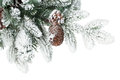 Fir tree branch with cones covered with snow isolated on white background Royalty Free Stock Images