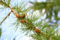 Fir tree branch with cones see my other works in portfolio Stock Images