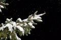 Fir tree branch covered with snow at night Stock Photography