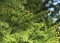 Fir Tree Branch Royalty Free Stock Photo