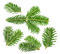 Fir tree branch isolated on white Royalty Free Stock Photo