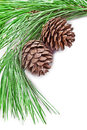 Fir tree branch with pine cones closeup on white background Royalty Free Stock Photography