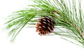 Fir tree branch with pinecone isolated on white background Stock Photos