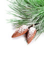 Fir tree branch with pinecones closeup on white background Stock Photography