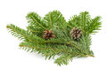 Fir tree branch on white Royalty Free Stock Photo