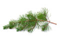 Fir tree branch on a white background isolation Stock Photography