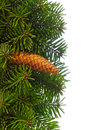 Fir tree branches with cone. Royalty Free Stock Photography
