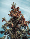Fir tree branches and cones in sky Stock Photo