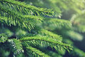 Fir tree branches in forest Stock Photography
