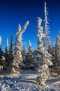 Fir tree covered with frost and snow frosty sunny winter day Royalty Free Stock Photography