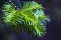 Fir tree detail
