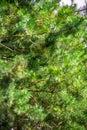 Fir tree texture