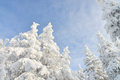 Fir tree tops covered by white snow with blue cloudy sky at background, winter beautiful landscape