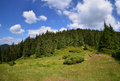 Fir trees forest very big in the carpathians Stock Photos