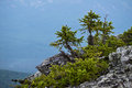 Fir trees on a slope Royalty Free Stock Photo