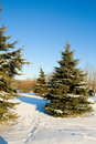 Fir trees with snow on blue sky Royalty Free Stock Photo