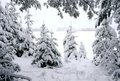 Fir trees and winter Royalty Free Stock Photos