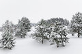 Fir trees winter covered with deep snow Royalty Free Stock Photography
