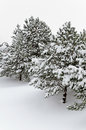 Fir trees winter covered with deep snow Royalty Free Stock Images