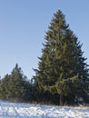 Fir trees in winter forest Stock Images