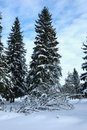 Fir trees in winter forest Stock Photo