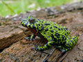 Fire-bellied Toad 10 Royalty Free Stock Image