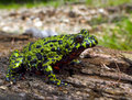 Fire-bellied Toad 2 Royalty Free Stock Images