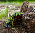 Fire-bellied Toad 3 Royalty Free Stock Photo