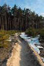 Fire break line in young pine forest Royalty Free Stock Photo
