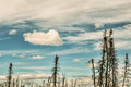 After the fire burned dead spruce trees in alaskan interior with blue skies and puffy clouds Stock Photography